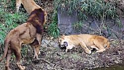 تصاویری نادر از حمله گروهی شیرها به شیر ماده