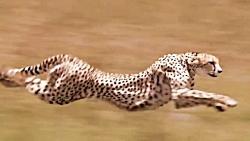 سرعت یوزپلنگ مقابل قدرت گریز بز کوهی(آنتلوپ)
