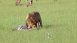 احترام خاص کفتارها به سلطان جنگل   شیر مقابل کفتار