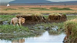 حیات وحش - شیری که پسرخالهاش را نجات میدهد
