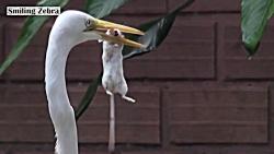 شکار موش توسط مرغ ماهیخوار سفید(حواصیل)