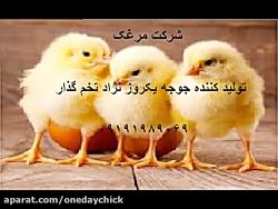 قیمت فروش جوجه ومرغ تخم گذار تولید تخم مرغ