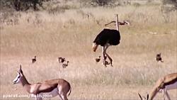 سلطان جنگل مقابل خانواده شترمرغ ها
