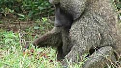 تصاویر نادری از شکار ایمپالا(بز کوهی) توسط بابون