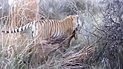 حمله های دیدنی ببر برای شکار حیوانات