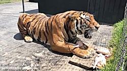 ببر سیبری | یکی از بهترین شکارچیان حیات وحش