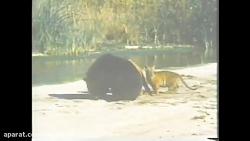 نبرد دو ببر بنگال با یک خرس سیاه آسیایی