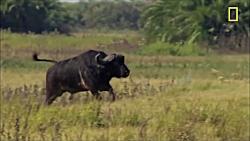 فرار شیر از بوفالو | وقتی پادشاه تحقیر می شود!