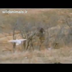 شکار شدن غاز وحشی توسط باز شکاری