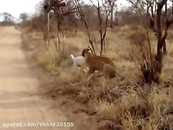 نبرد عجیب شیر و سگ