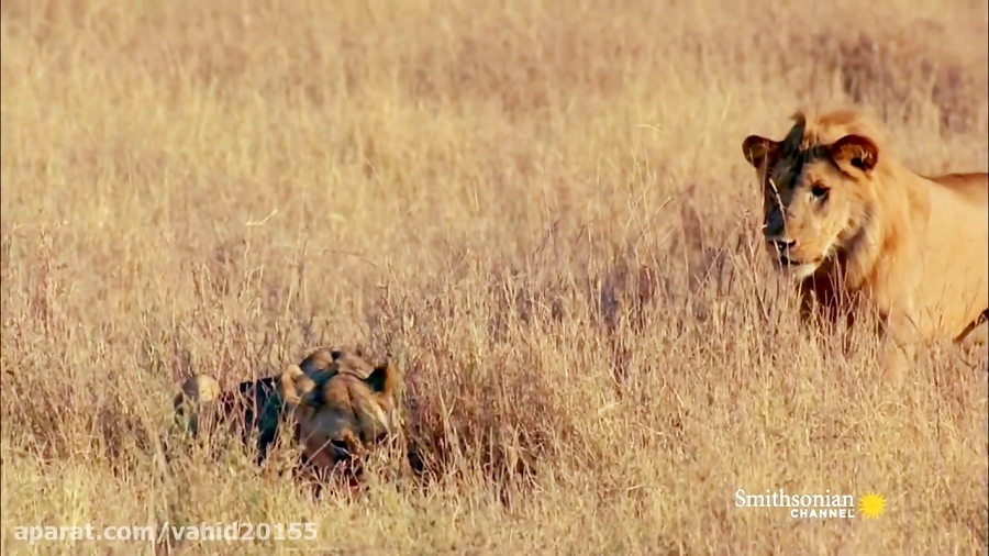 جنگ و نبرد 2 شیر در حیات وحش