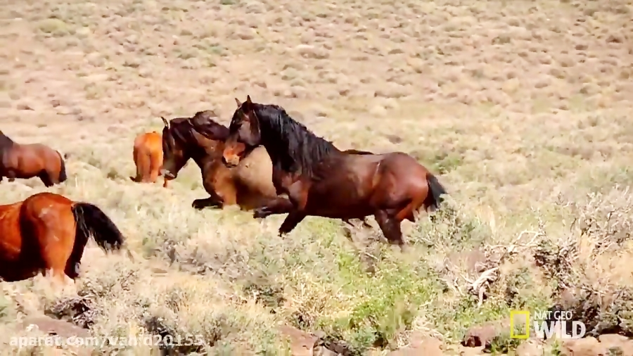 دویدن اسب ها در طبیعت