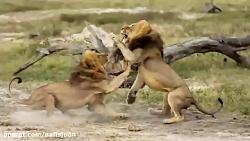جنگ حیوانات در حیات وحش