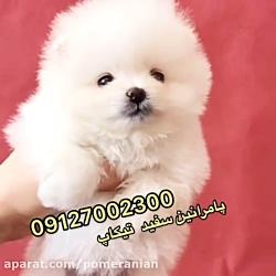سگ پامرانین سفید