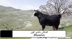 صدای گوسفند