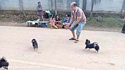 آکروبات بازی سگ های کوچ...
