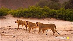 شکار یک زرافه توسط 5 شیر