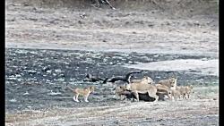 اولین شکار توله شیرها | شیر مقابل بوفالو
