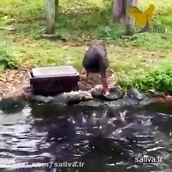غذا دادان قو مشکی به ماهی ها