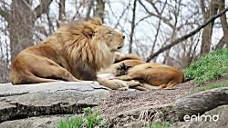 ملاقات شیر و کفتار در حیات وحش