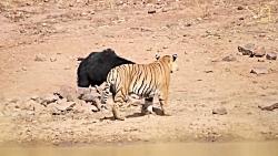 ببر مقابل خرس جنگ خرس مادر برای نجات توله با ببر