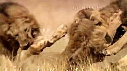 ببر مقابل شیر | نبرد دو شکارچی قهار حیات وحش