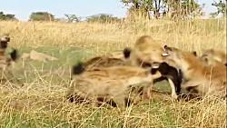 تصاویر نادری از شکار شیر توسط گله کفتارها