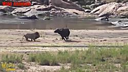 بوفالو مقابل شیر | وقتی شیر از ترس بوفالوها فرار می کند