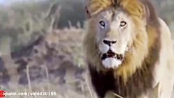 جنگ و نبرد شیر و یوزپلنگ در حیات وحش