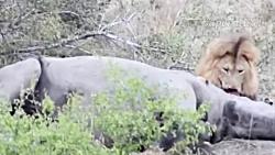 حیات وحش، شیر در مقابل حیوانات غول پیکر