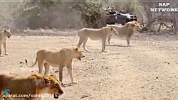 جنگ و نبرد شیرها و بوفالوها در حیات وحش