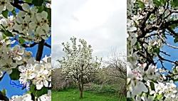 شکوفههای گلابی در طبی...