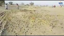 هجوم ملخ های صحرایی به سیستان و بلوچستان