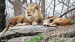 جنگ و نبرد شیر و  کفتار در حیات وحش