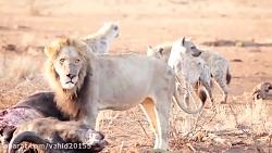 جنگ و نبرد گروهی از کفتارها با شیرها در حیات وحش