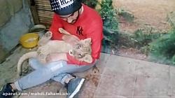 بازی با دم بچه شیر در ای...