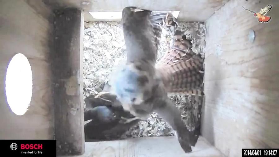 نبرد وحشیانه پرنده شکاری دلیجه با پرنده استارلینگ
