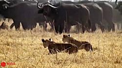 پایان غم انگیز شیرها برای شکار در حیات وحش