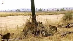 مستند حیات وحش- شکار حیوانات