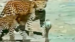 جنگ و نبرد شیر و پلنگ در حیات وحش برای بقاء
