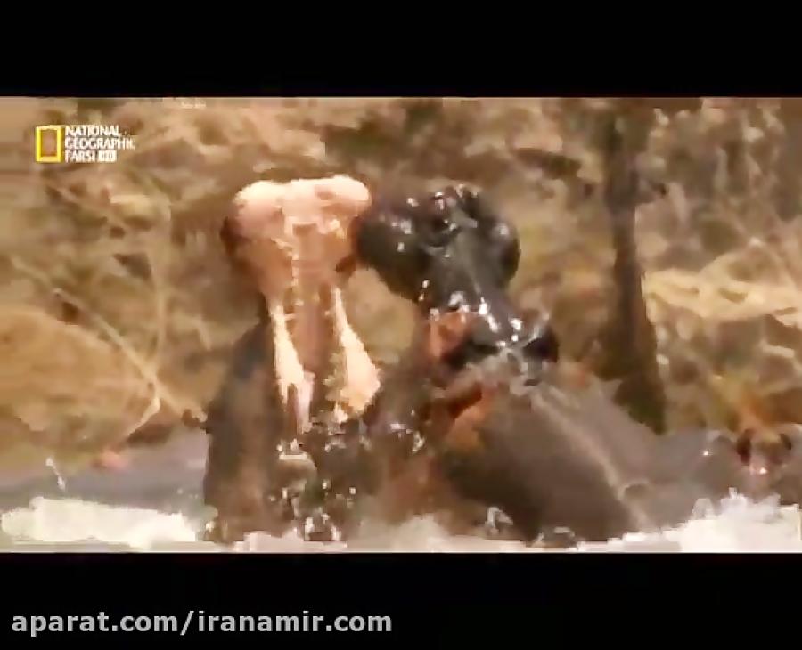 #حیات_وحش تنها حیوانی که حریف اسب های آبی است یک اسب آّبی دیگر است!
