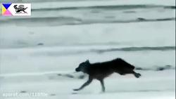 نبرد وحشیانه سگ و عقاب