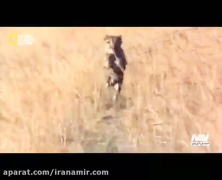 #حیات_وحش باز هم بریم به دنیای یوزپلنگ ها(چیتا) سریعترین چهارپایان