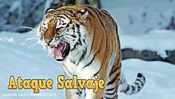 جنگ و نبرد شیر و گوزن در حیات وحش