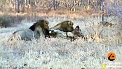 جنگ و نبرد گروهی از شیرها با بوفالوها در حیات وحش و زخمی شدن شیر