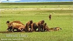 شکار حیوانات توسط کفتارها