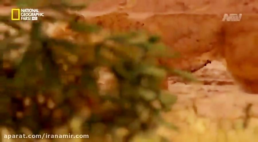 """#حیات_وحش این ویدئوی بی نظیر، نظر شما رو نسبت به """"شیرها"""" عوض میکنه!"""