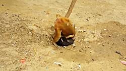 اذیت و آزار دو سگ توسط یک میمون بازیگوش
