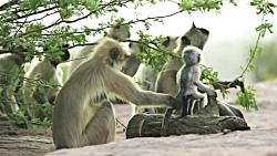 وقتی میمون ها با میمون رباتی مواجه می شوند