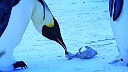 کلیپی شگفت انگیز از عزاداری پنگوئن ها برای بچه مرده